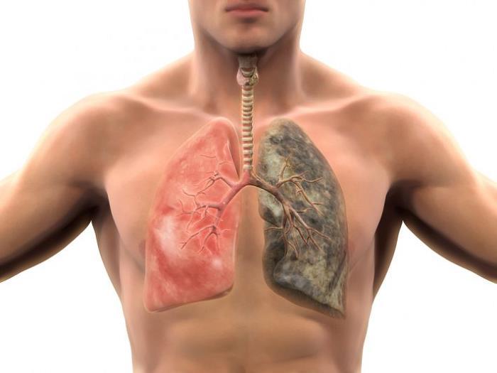 akciğer-organı