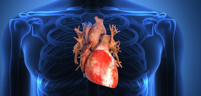 kalp-organı