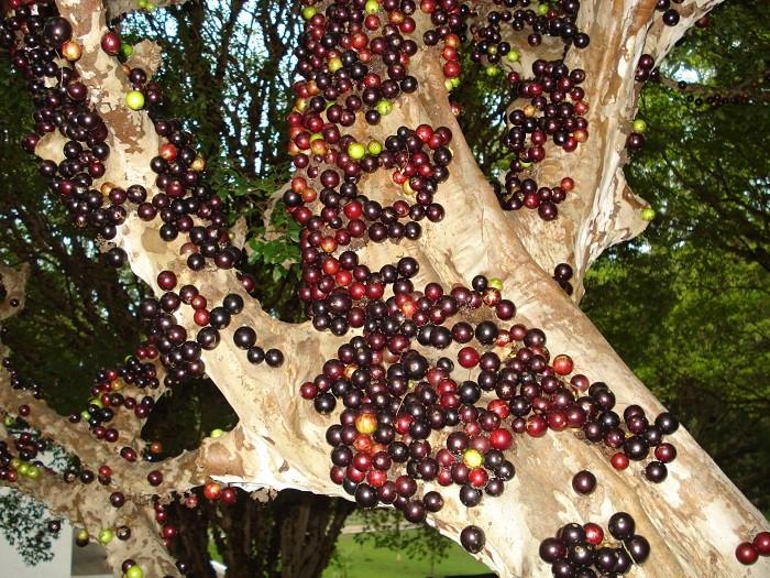 Jabuticaba-Bitki-Meyve (1)