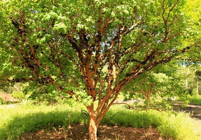 Jabuticaba-Bitki-Meyve (10)