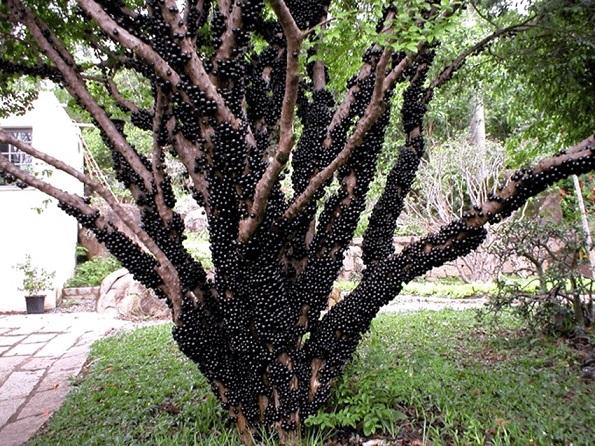 Jabuticaba-Bitki-Meyve (11)