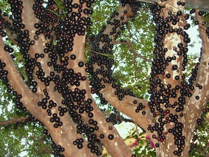 Jabuticaba-Bitki-Meyve (5)