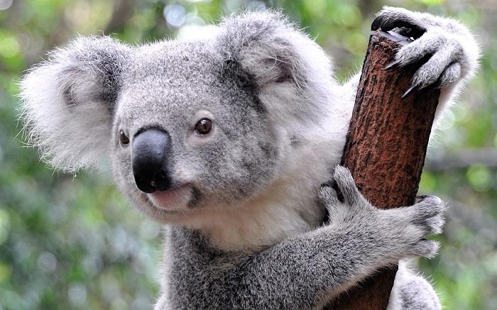 Koala (1)
