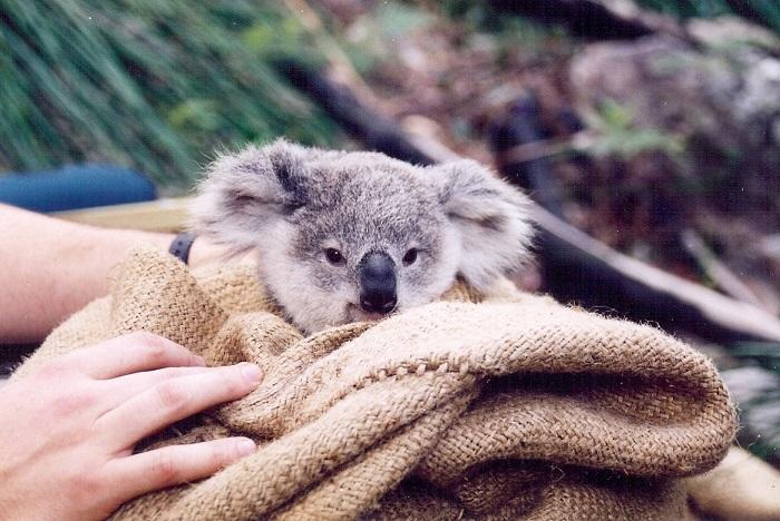 Koala (14)