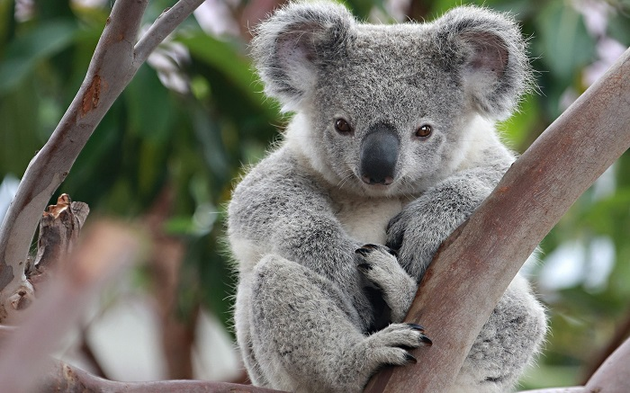 Koala (17)