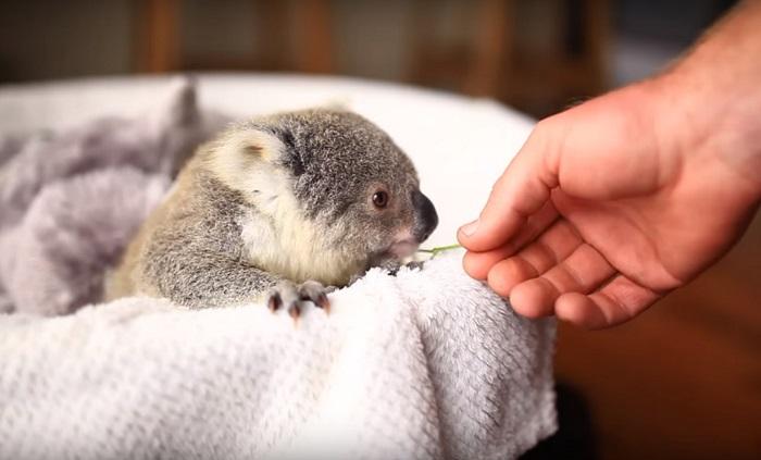 Koala (18)