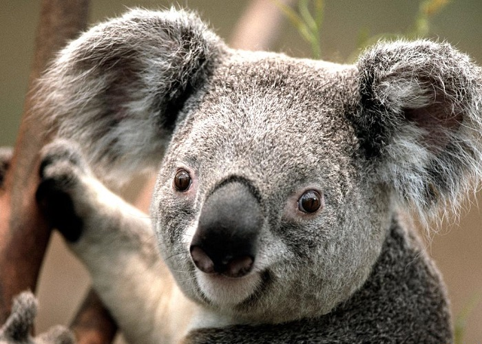 Koala (19)