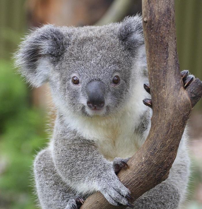 Koala (20)