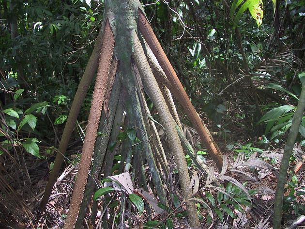 Socratea-Exorrhiza-Yuruyen-Agac