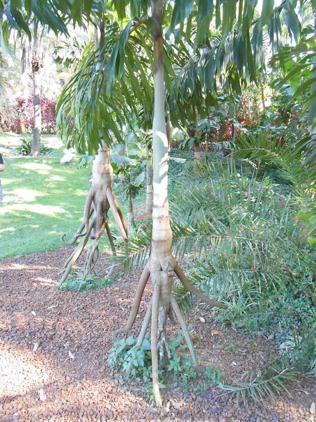 Yuruyen-Agac-Walking-Trees