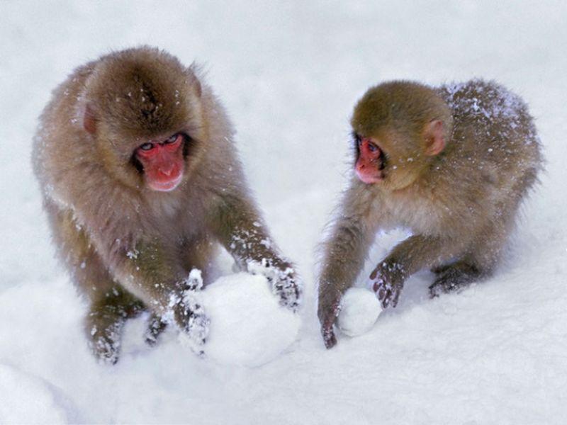 sebek-maymunu