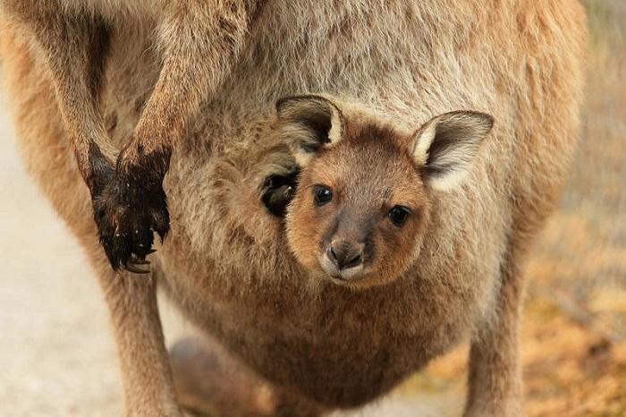 yavru-kanguru
