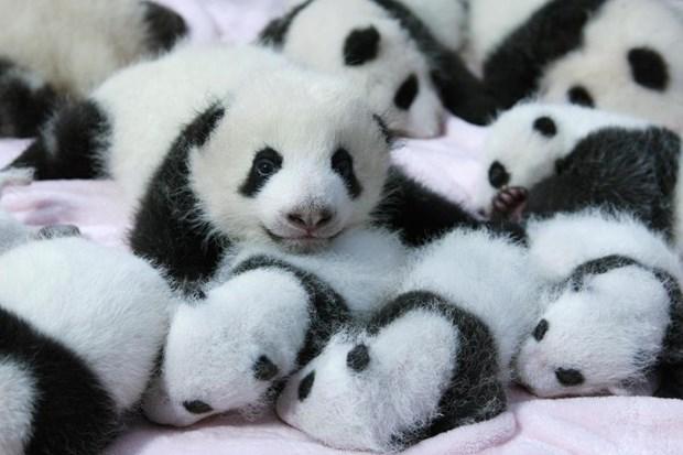 yavru-panda